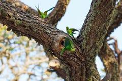 Parrots fighting over nest. On the tree, Sri Lanka royalty free stock image