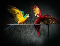 Parrots fighting Royalty Free Stock Image