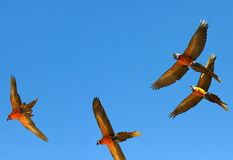 Parrots in flight Royalty Free Stock Image