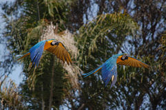 Parrots flying in front of palm trees Stock Photos