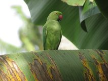 Free birds. parrot of sri lanka. The parrots found in Sri Lanka are mostly green in colour royalty free stock photos