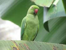Free birds. parrot of sri lanka. The parrots found in Sri Lanka are mostly green in colour royalty free stock photography