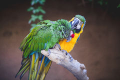Parrots Grooming Royalty Free Stock Photo