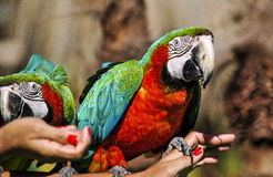 Parrots on the hands. Two very colorful parrots posing in the hands of a woman, in a park of Brazil Royalty Free Stock Photo