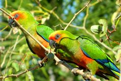 Parrots. High Detail Parrots eating in the farm Stock Photo
