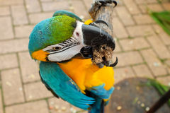 Parrots on hold Royalty Free Stock Photos