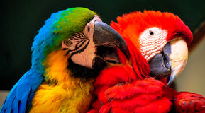Parrots hugging Stock Images