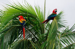 Parrots on island in Bocas Del Toro Stock Images