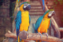 Parrots in the jungle. Blue-and-Yellow Macaw Ara ararauna Stock Photo