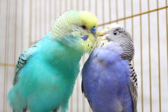 Parrots kiss Royalty Free Stock Photo