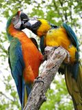 Parrots Kiss. Two parrots with bright multi-coloured feather royalty free stock photography