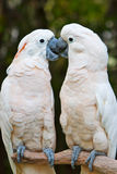 Parrots kissing. Two parrots (Little Cockatoo with white feather) is kissing on the trunk Stock Photo