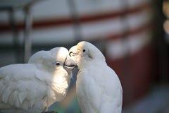 Parrots kissing. A couple of parrots kissing stock images