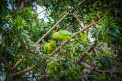 Parrots kissing. Parrots on a tree kissing stock photos