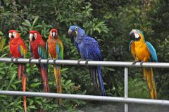 Parrots Lined Up Royalty Free Stock Images