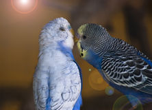 Parrots in love. Sweet kiss of parrots in love Royalty Free Stock Photography