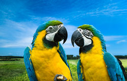 Parrots in love. Close-up of a beautiful blue-and-yellow macaw's in love (Ara ararauna Stock Photos