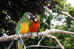 Parrots in love stock photo