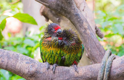 Parrots in love Stock Photography