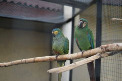 Parrots are lovebirds in a Russian zoo. Stock Photography