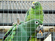 Parrots are lovebirds. Royalty Free Stock Images