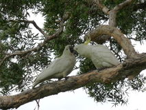 Parrots lover. Two Parrots kissing on the tree Stock Photo