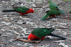 Parrots´ lunchbreak. Australian king parrot snacking seeds Royalty Free Stock Photography