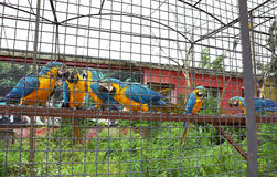 Parrots the macaw communicate in a cage Stock Images