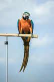Parrots, macaws branches stand Royalty Free Stock Photos