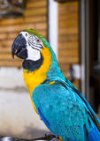 Parrots Maccaw. The color of the Macaw Royalty Free Stock Photography