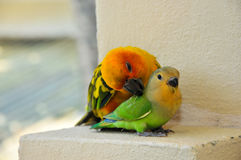 Parrots at Maldives 14 stock image