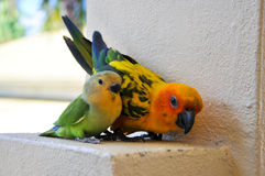 Parrots at Maldives 9 stock photography