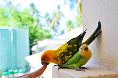 Parrots at Maldives 4 stock image
