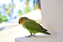 Parrots at Maldives 2 stock photography