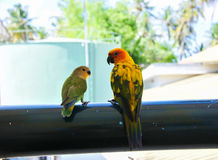 Parrots at Maldives 3 stock photography