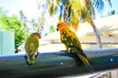 Parrots at Maldives 2 royalty free stock image