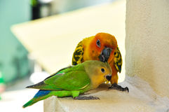 Parrots at Maldives 3 royalty free stock photo