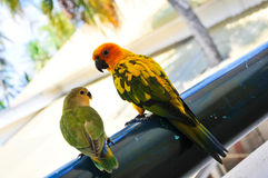 Parrots at Maldives 13 royalty free stock image
