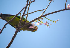 Parrots at the Ocotal Beach in Guanacaste - Costa Rica Stock Photo