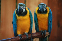 Parrots pair. Blue and yellow parrots pair Royalty Free Stock Image