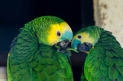 Parrots. A pair of amazon parrots  in the zoo Stock Photography