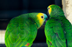 Parrots. A pair of amazon parrots  in the zoo Royalty Free Stock Images