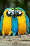 Parrots. Pair of colorful Macaws parrots stock photos