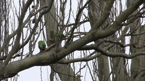 Parrots - Parakeets on a tree branch. stock video