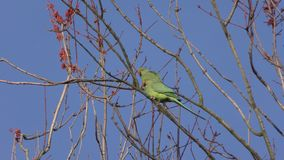 Parrots - Parakeets on a tree branch. stock footage