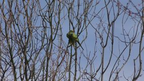 Parrots - Parakeets on a tree branch. London. England. United Kingdom. Birds of city parks stock video