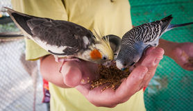 Parrots pecking seeds from the hand, Koh Samui, Thailand Royalty Free Stock Photo