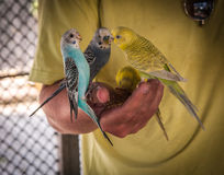 Parrots pecking seeds from the hand, Koh Samui, Thailand Royalty Free Stock Images