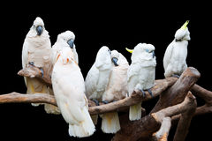 Parrots perch on trunk. Server white parrots perch on truck with black background stock photo