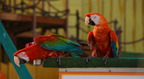 Parrots perched on wooden ledge. Two Parrots perched on wooden ledge royalty free stock photos